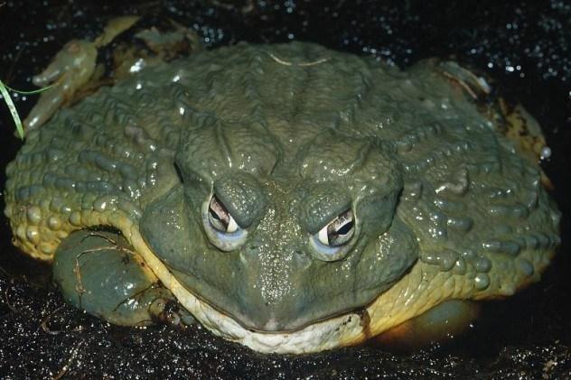 огромные жабы фото